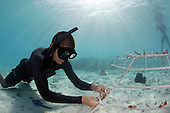 Marine biologist diver attaching coral fragments to underwater metal frame for coral reef restoration, Maldives
