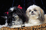 Shih-Tzu in the studio Shopping cart has 3 Tabs:<br /> <br /> 1) Rights-Managed downloads for Commercial Use<br /> <br /> 2) Print sizes from wallet to 20x30<br /> <br /> 3) Merchandise items like T-shirts and refrigerator magnets