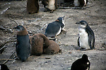 Africa, South Africa, Simons Town, Boulders Beach. African Penguin chicks at Boulders Beach near Simons Town on False Bay.
