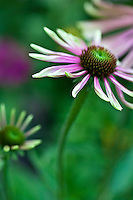Echinacea 'Green Envy'.The flowers will start out lime green and daisy like and then slowly elongate into a dark purple petals. You get a rainbow of colors during its extremely long bloom period.