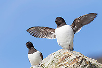 Dovkie flaps its wings while standing on the rocky shore of an island in Svalbard.