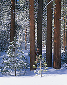 Winter in Jeffrey Pines (Pinus jeffrey), Inyo National Forest, California, USA.