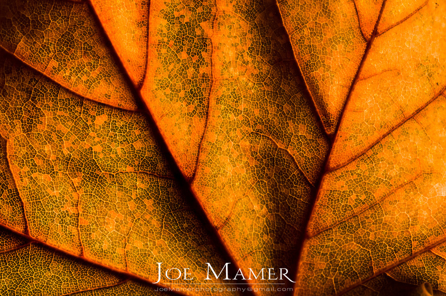Macro image of autumn maple leaf texture.
