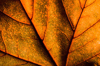 Macro image of autumn maple leaf texture.
