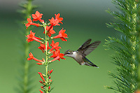 Female Ruby-Throated hummingbird (Archilochus colubris) with Standing Cypress flowers (Ipomopsis rubra).