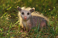 Possum baby close up with halo of sunlight