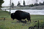 WY: Wyoming; Yellowstone National Park.Bison.Photo #: yellow1475.Photo copyright Lee Foster, 510/549-2202, lee@fostertravel.com, www.fostertravel.com..