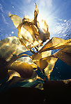 Santa Barbara Island, Channel Islands, California; Giant Kelp (Macrocystis pyrifera) backlit by the sun near the water's surface , Copyright © Matthew Meier, matthewmeierphoto.com All Rights Reserved