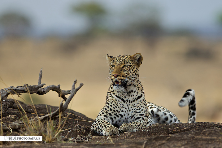 Leopard (Panthera pardus) at rest in the kopjes of Northern Serengeti