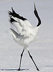 Red Crowned Crane, Grus japonensis, displaying, dancing, calling, wings open, Hokkaido Island, japanese, Asian, cranes, tancho, crested, white, black,  wilderness, wild, untamed, photography, ornithology, snow, graceful, majestic.Japan....