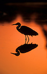 Grey heron, Ardea cinerea, silhouette at sunset, Kruger National Park, South Africa