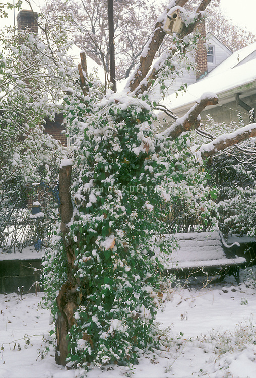 Clematis paniculata vine, garen bench, bird house, garden ornament bell, in winter snow with houses, retaining wall