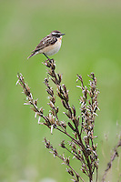 Whinchat (Saxicola saxicola) adult male. Lithuania, May 2009. Mission: Lithuania