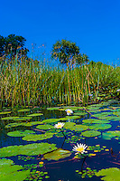 Lily pads and reeds in swamps, near Kwara Camp, Okavango Delta, Botswana.