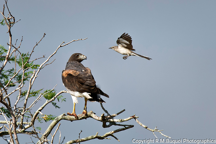 White-tailed Hawk with Mockingbird