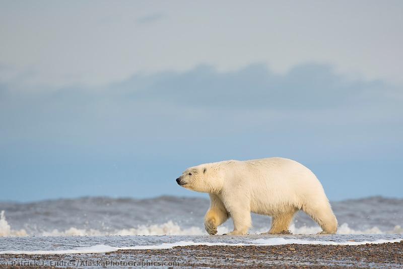 Polar bear walks along a barrier island along the Alaska coast in the Arctic National Wildlife Refuge.