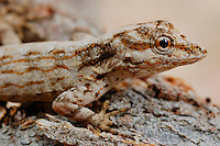 Rock Gecko (Pristurus obsti), endemic to Socotra, Yemen.