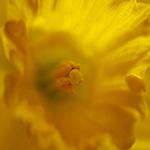 Lensbaby Daffodil