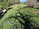 2014-Daffodil Hill, Amador County
