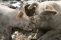 Female and young Domestic Pig (Sus scrofa)