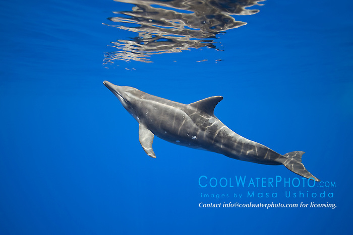 rough-toothed dolphin, Steno bredanensis, approaching surface to breathe, Kona Coast, Big Island, Hawaii, USA, Pacific Ocean