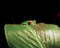 Red eyed tree frog (Agalythnis Callidryas) in rainforest at the Tortuguero National Park, East Coast, Tortuguera, Limon, Costa Rica