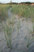 Prairie Grasses in the Dunes, Pinery Provincial Park