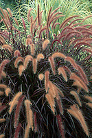 Pennisetum advena 'Rubrum'  ornamental grass with purple dark foliage and flowers