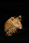 Leopard (Panthera pardus),  Madikwe game reserve, South Africa, February 2014