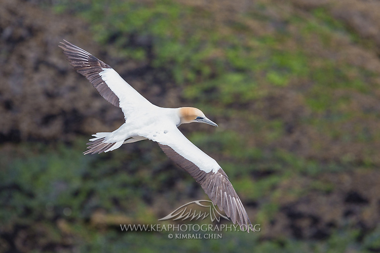 How did the gannet get it s name the gannet 39 s supposed for Names of fish to eat