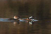 559287025 a male and female hooded merganser lophodytes cucullatus swim in an estuary near santa barbara california
