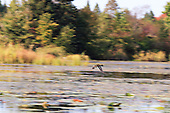 Canada goose in flight along edge of forest