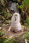Light-mantled albatross chick in nest, Gold Harbor, South Georgia Island