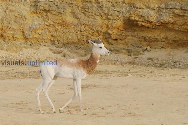 Dama Gazelle (Nanger dama), a critically endangered species. Captive