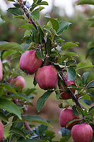 Red apples ripening on trees in an apple orchard.