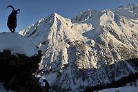 26.11.2008<br /> Alpine Ibex (Capra ibex) in alpine landscape.<br /> Gran Paradiso National Park, Italy