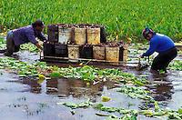 Workers harvesting kalo (taro) on the Haraguchi family farm, Hanalei