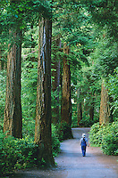 Hiker strolling along trail through giant Douglas Fir trees (pseudotsuga douglasii) in Lighthouse Park, West Vancouver, BC.