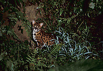Leopard Cat, Felis bengalensis, Tabin, Sabah, at night in forest.Borneo....