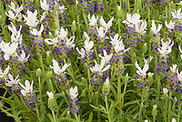 Lavandula stoechas 'Little Bee White' = 'Florvendula White' (Little Bee series) Spanish Lavender herb in flower