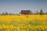 Dandelion Field, Spring, Tartu County, Estonia, Europe