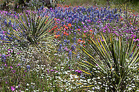 Spring Bluebonnets, Pink Phlox and Indian Paintbrush surrond Yucca Catus