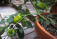 Green Bell peppers in pot on deck Capiscum vegetables in container garden at home growing