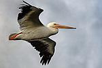 Fly Past, pelican at Bolsa Chica, CA.