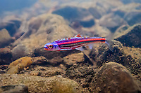 Rainbow Shiner<br />