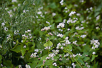 Buckwheat flowers (Fagopyrum esculentum)