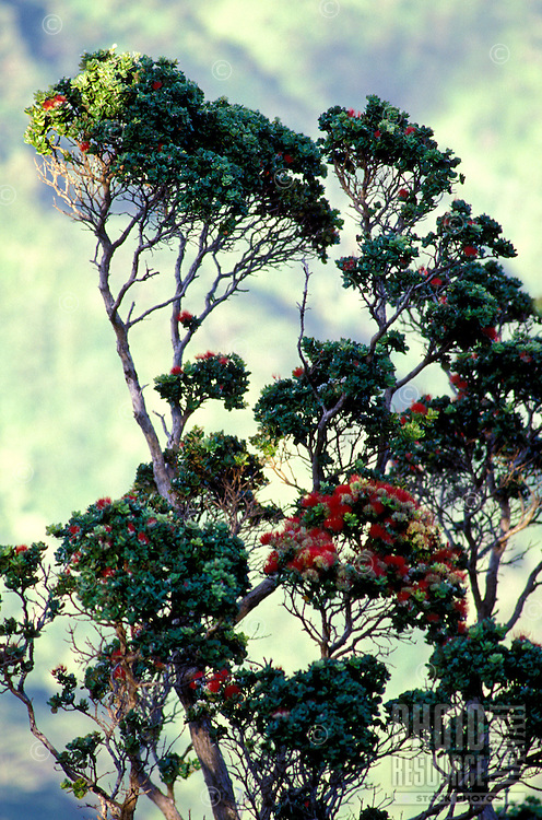 Blossoming ohia trees, a native Hawaiian plant, Manoa Cliffs Trail, Honolulu