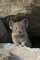 Young American Pika (Ochotona princeps) in alpine rock pile.  Pacific Northwest.  Summer.