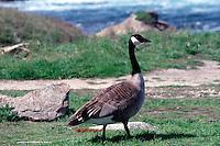 WETLAND BIRDS<br /> Canada Goose<br /> (Branta Canadensis)