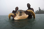 Rangers with a green turtle (Chelonia mydas). Rangers caught this big female green turtle in the pouring rain. Catching and tagging turtles, Rangers of the Tetepare Descendants&rsquo; Association routinely catch and tag green and hawksbill turtles, which feed in the waters of Tetepare Island. The.aim of the work is to keep a record of the numbers of turtles and turtle species in.Tetepare&rsquo;s waters, and link the work of the Tetepare Descendants&rsquo; Association&rsquo;s with that.of international organizations like WWF.